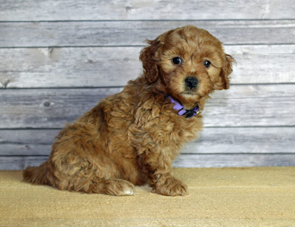 A picture of a Ursula, one of our Mini Goldendoodles puppies that went to their home in Nebraska