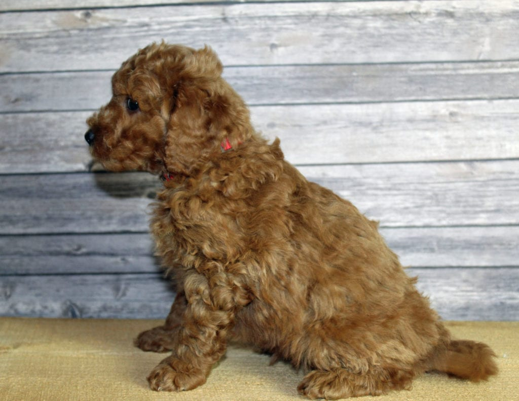 Usher came from Penny and Taylor's litter of F1B Goldendoodles