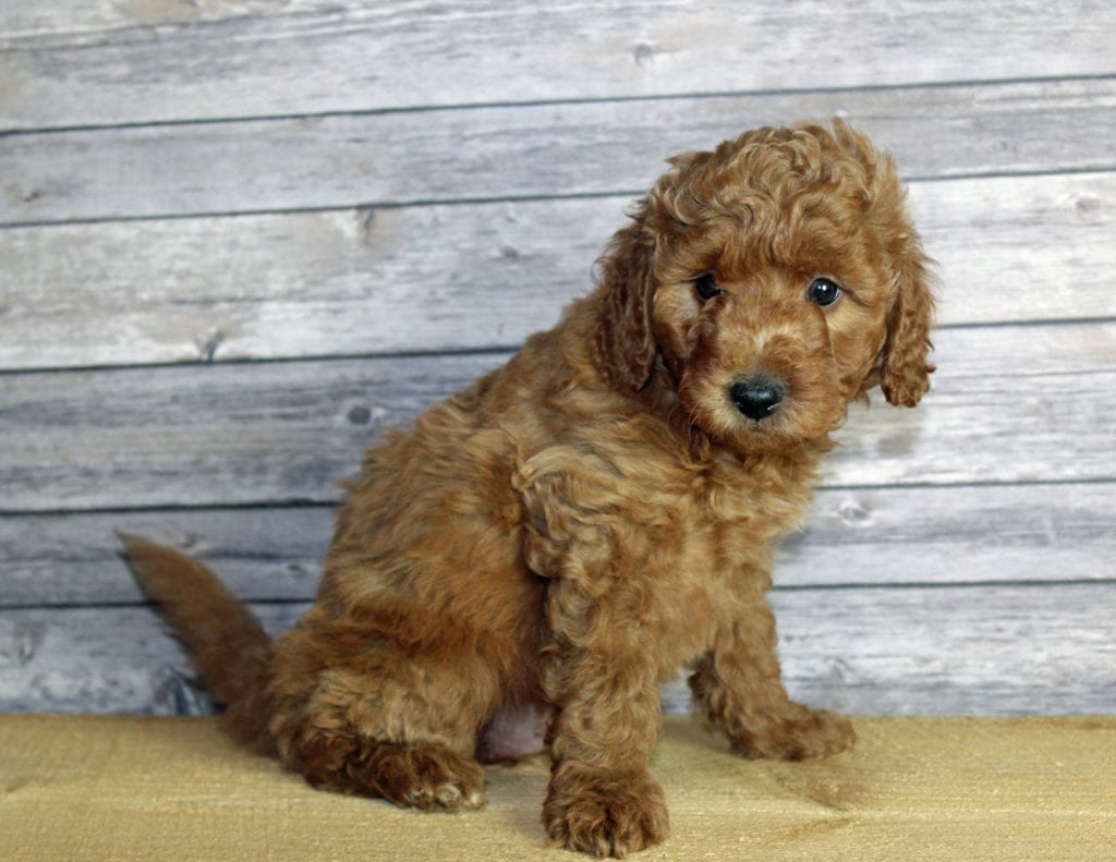 Usher is an F1B Goldendoodle that should have  and is currently living in Colorado