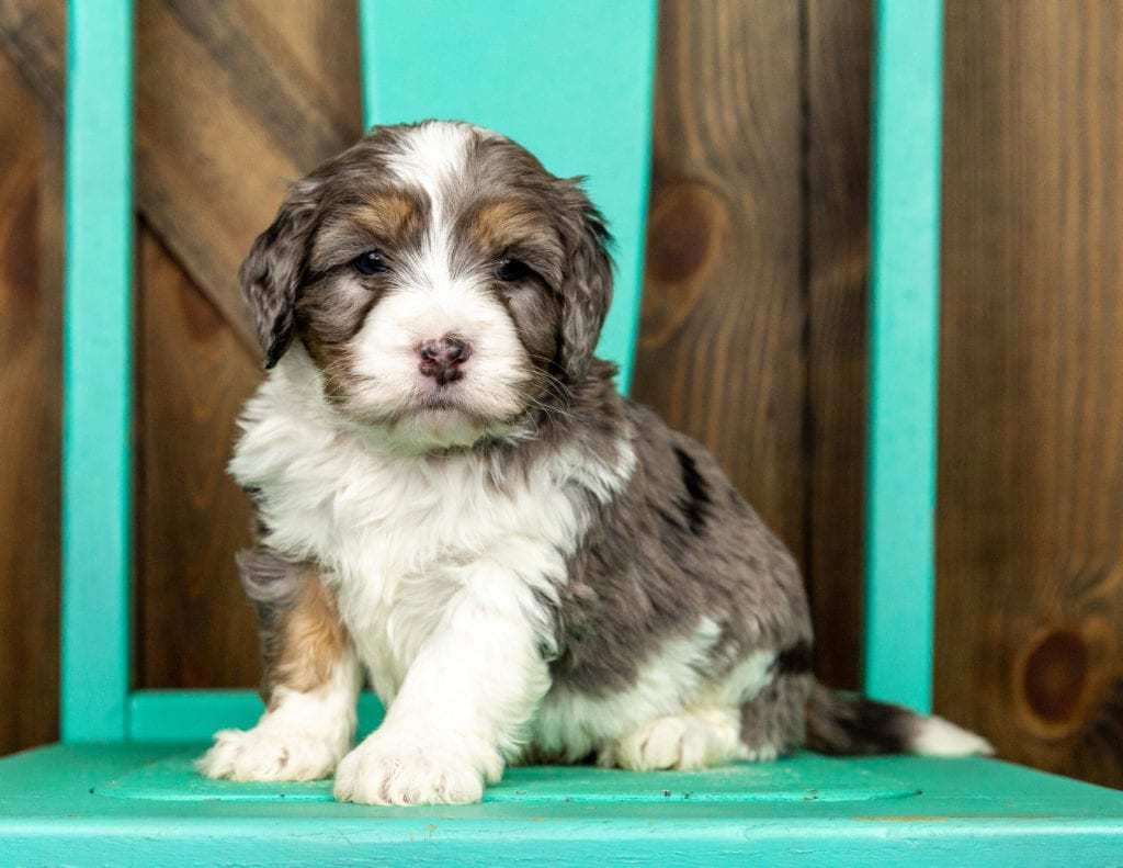 A picture of a Vodka, one of our Mini Bernedoodles puppies that went to their home in Indiana