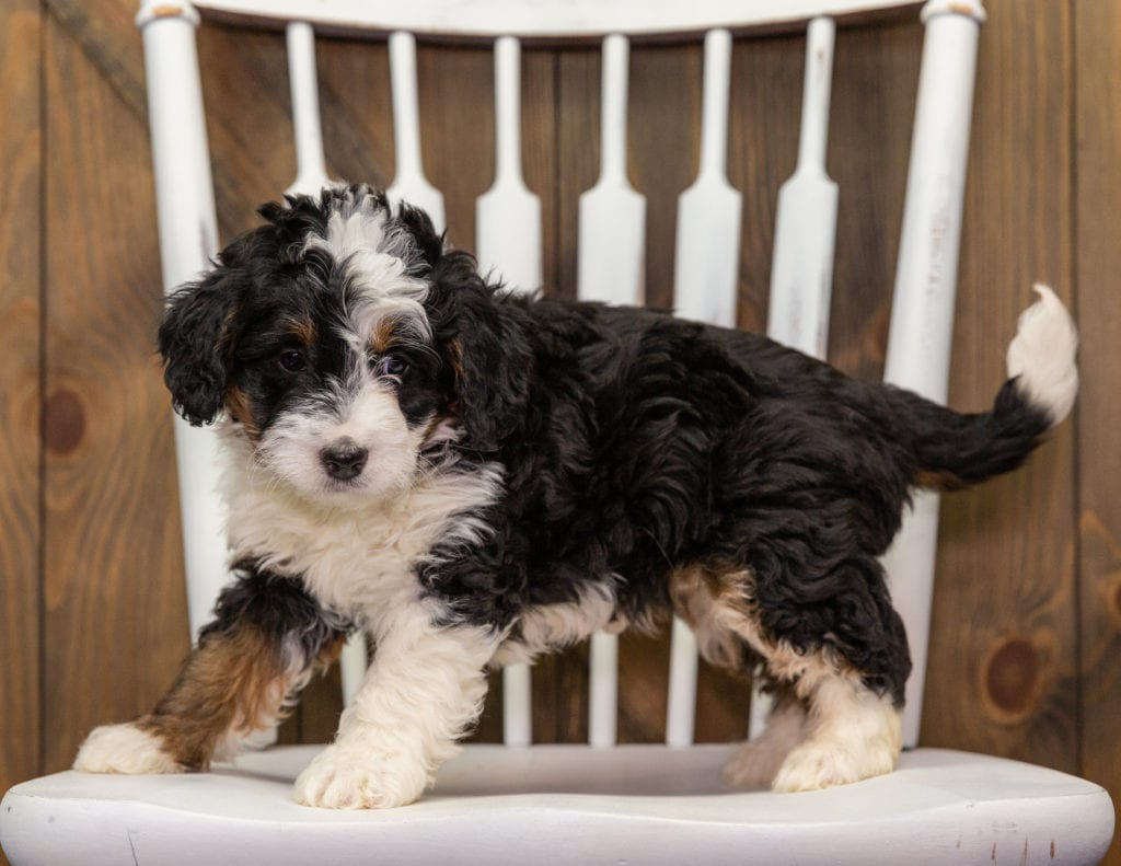 Abby is an F1 Bernedoodle that should have  and is currently living in New Jersey