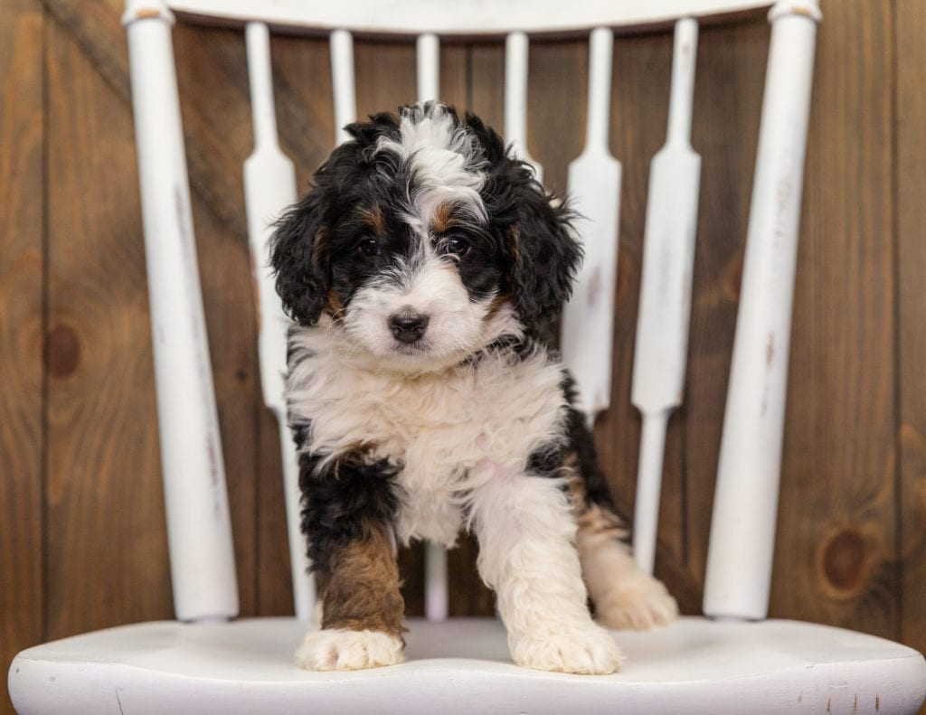 A picture of a Abby, one of our Mini Bernedoodles puppies that went to their home in New Jersey