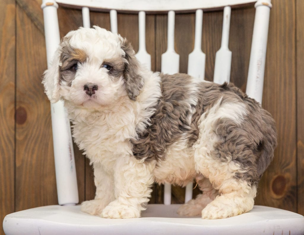 A picture of a Alf, one of our Mini Bernedoodles puppies that went to their home in Minnesota