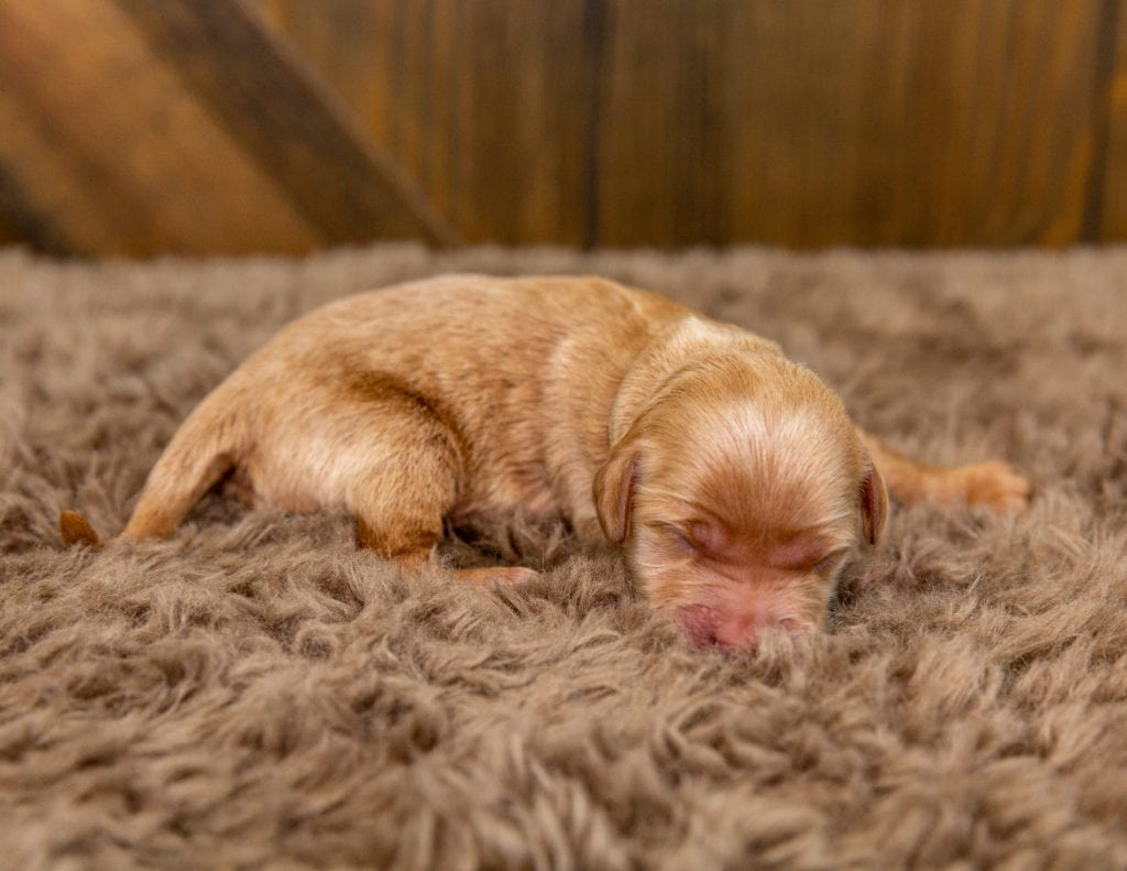 A picture of a Bolt, one of our Mini Goldendoodles for sale