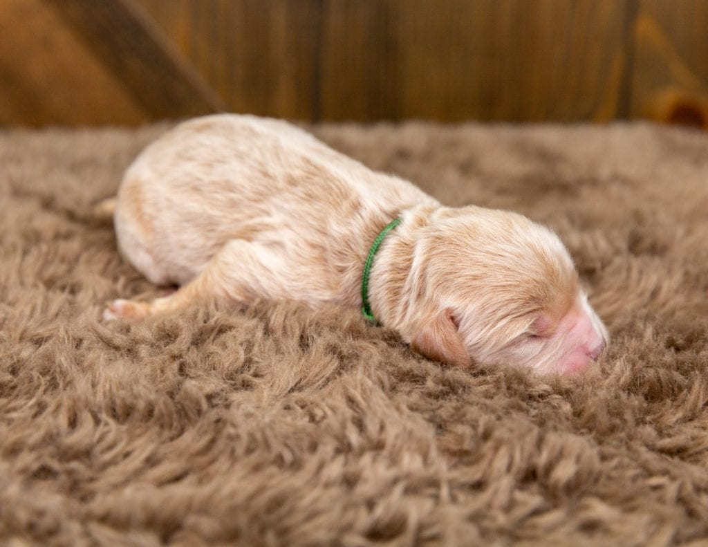 A picture of a Bosley, one of our Mini Goldendoodles for sale