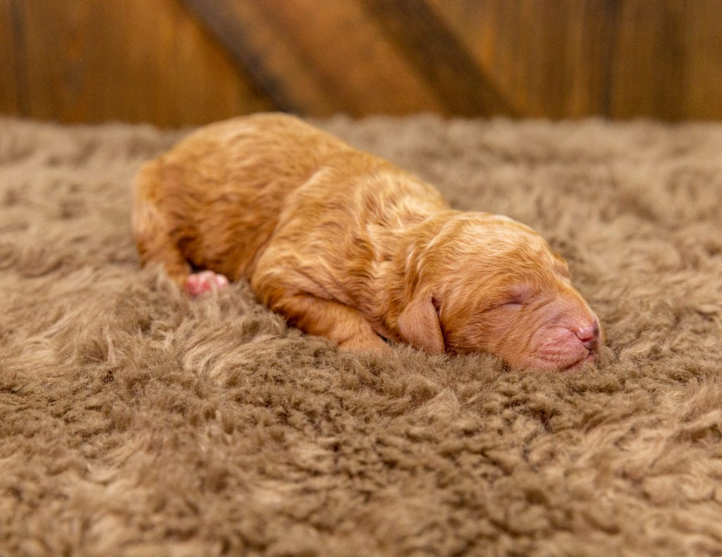 A picture of a Churro, one of our Mini Goldendoodles for sale