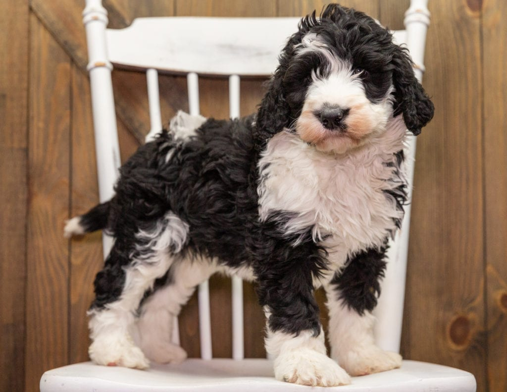 A picture of a Dixie, one of our Standard Sheepadoodles puppies that went to their home in Nebraska
