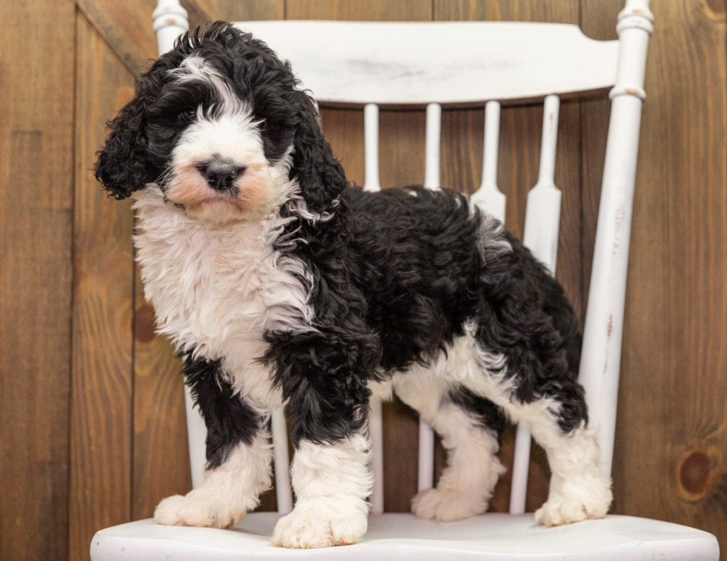 Dixie is an F1 Sheepadoodle that should have  and is currently living in Nebraska
