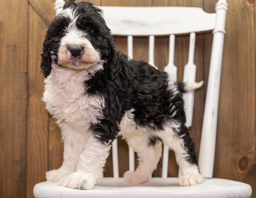 A picture of a Dolly, one of our Standard Sheepadoodles puppies that went to their home in Virginia