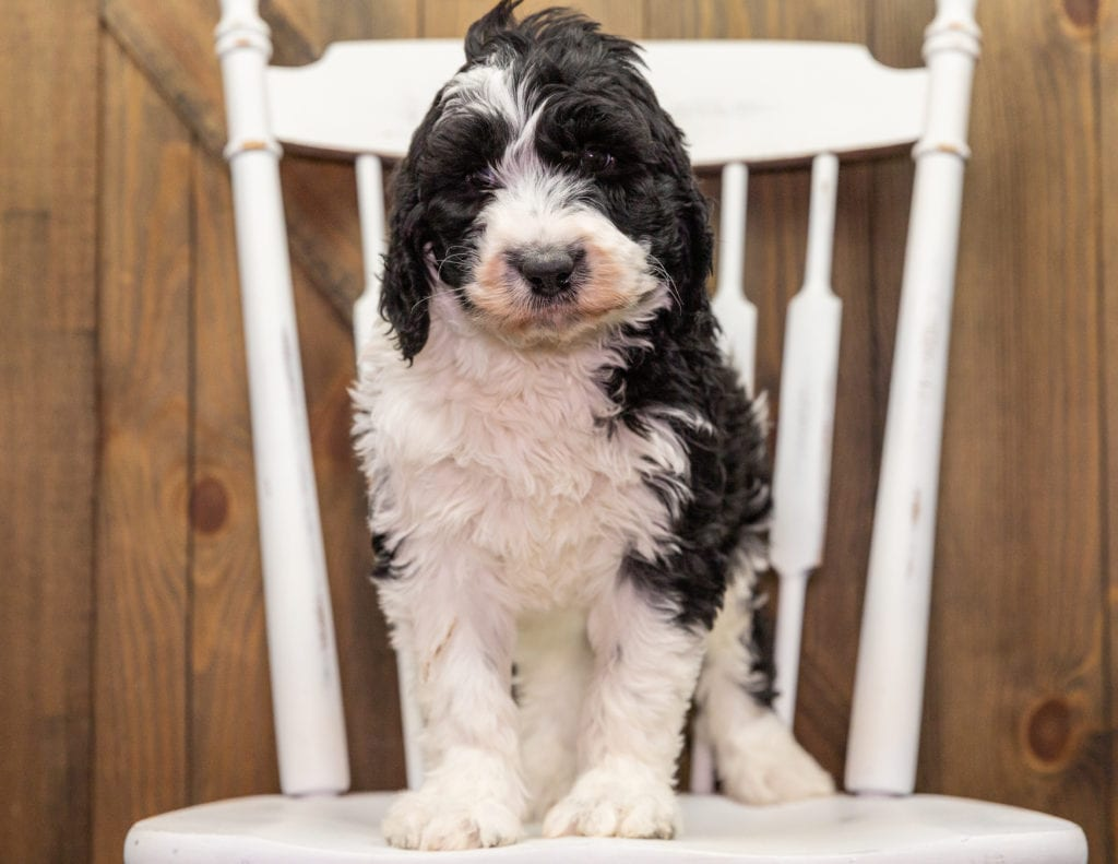 Dolly is an F1 Sheepadoodle that should have  and is currently living in Virginia