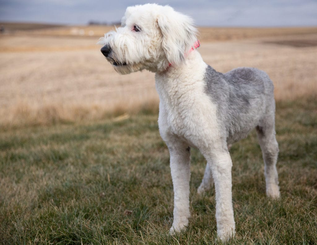 Annie is an  Old English Sheepdog and a mother here at Poodles 2 Doodles, Sheepadoodle and Bernedoodle breeder from Iowa