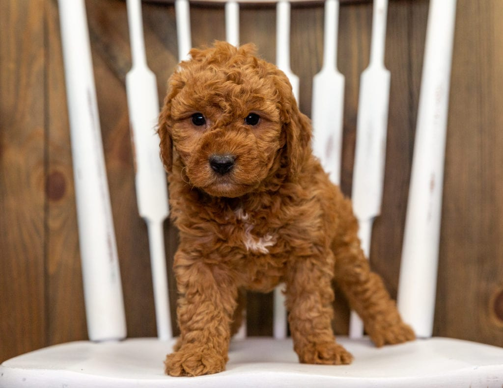 A picture of a Cami, one of our Mini Goldendoodles puppies that went to their home in Illinois