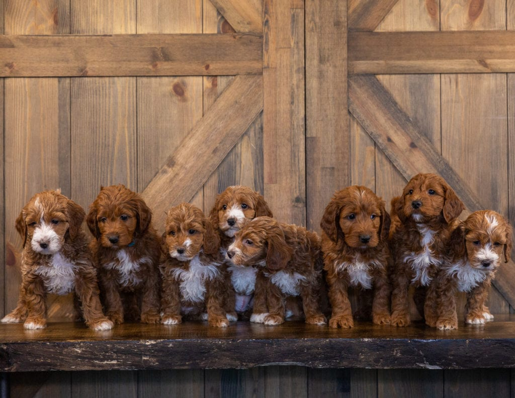 A group of Irish Doodle puppies for sale from Poodles 2 Doodles in iowa