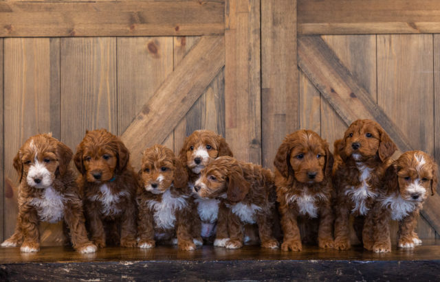A Poodles 2 Doodles litter of Mini Irish Doodles raised in Iowa