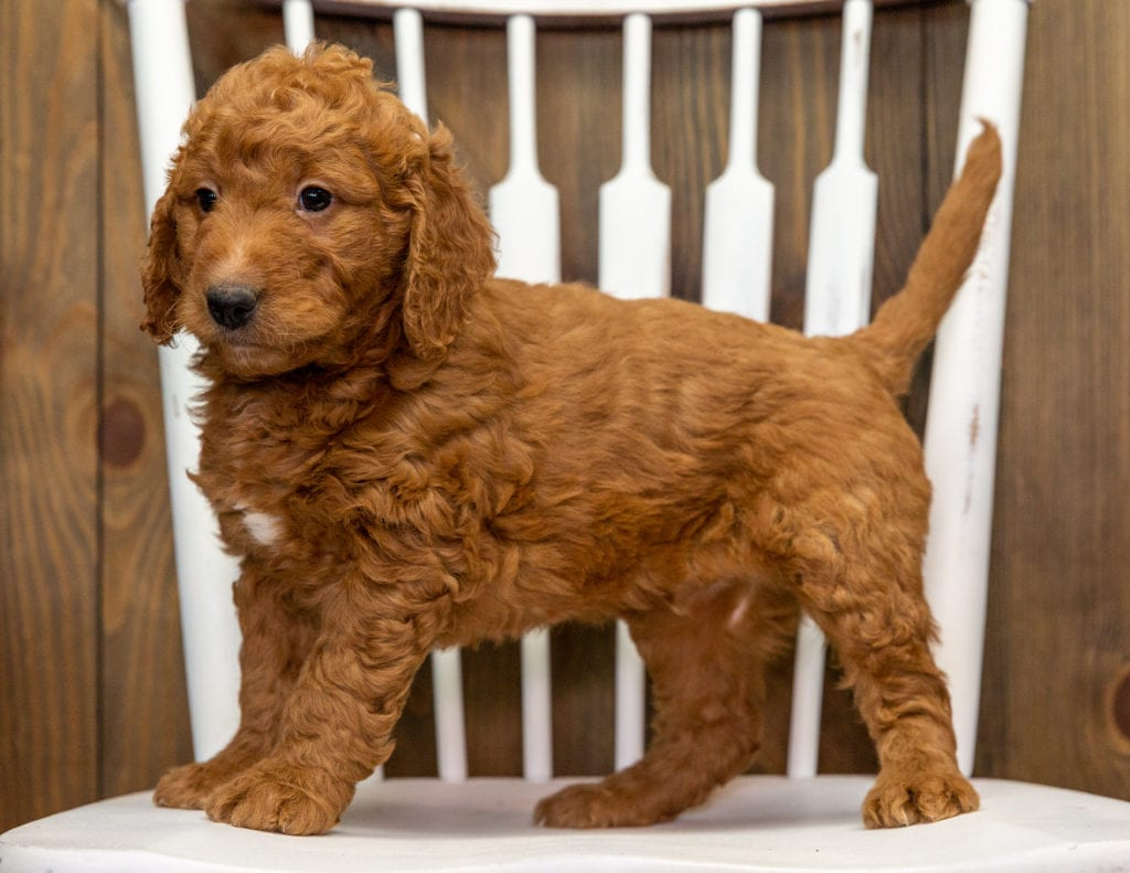 A picture of a Chewy, one of our Mini Goldendoodles puppies that went to their home in California