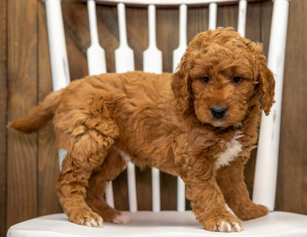 Churro came from Jazzy and Milo's litter of F1 Goldendoodles