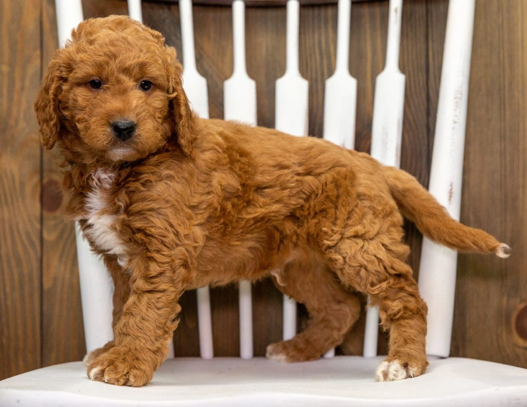 Churro is an F1 Goldendoodle that should have  and is currently living in California