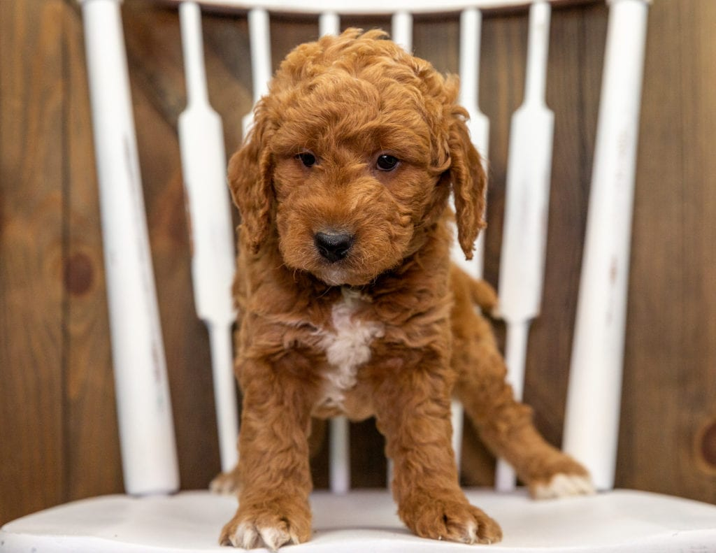A picture of a Churro, one of our Mini Goldendoodles puppies that went to their home in California