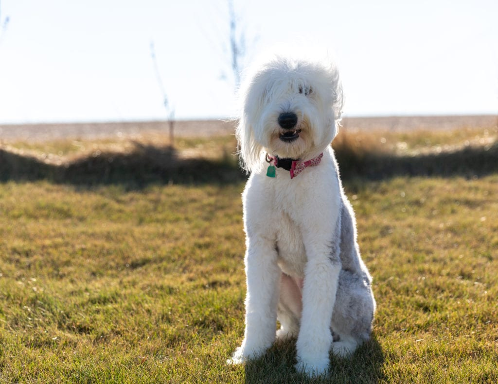 Millie is an  Old English Sheepdog and a mother here at Poodles 2 Doodles, Sheepadoodle and Bernedoodle breeder from Iowa