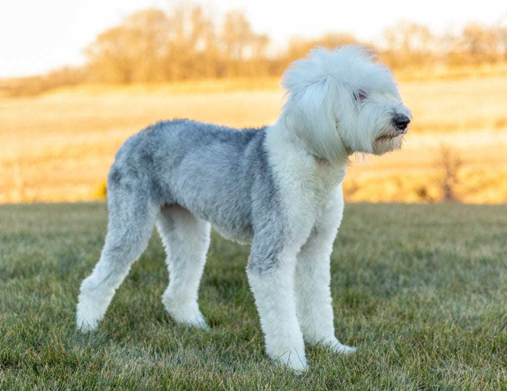 A picture of one of our Old English Sheepdog mother's, Millie.