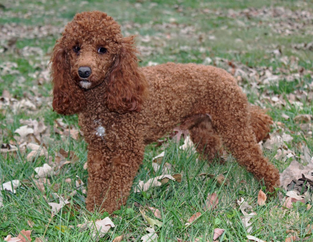 Petite Goldendoodles with hypoallergenic fur due to the Poodle in their genes. These Goldendoodles are of the F1BB generation.