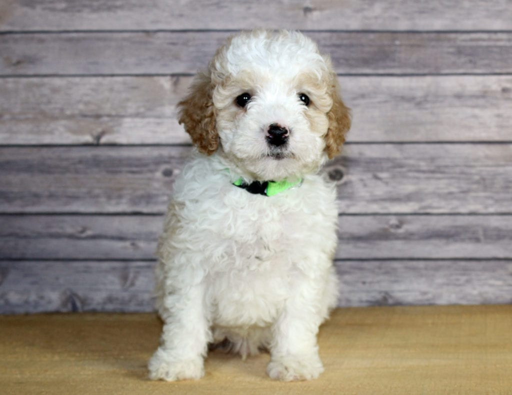Petite Bernedoodles with hypoallergenic fur due to the Poodle in their genes. These Bernedoodles are of the F1B generation.