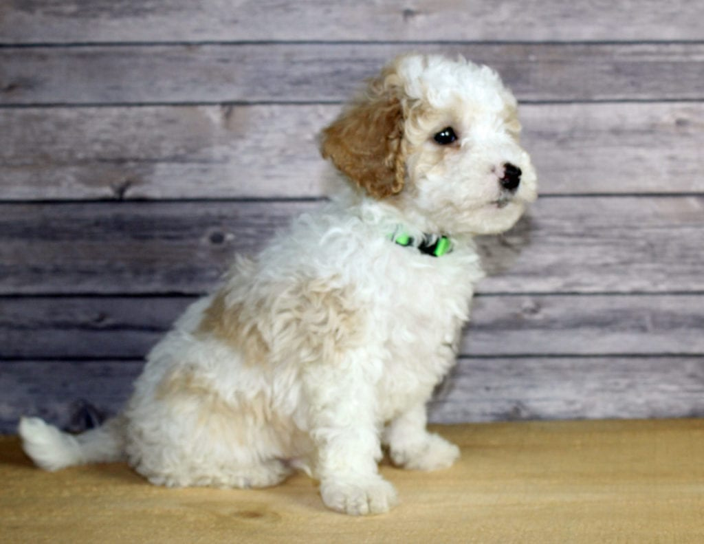 Wesley came from Wesley and Ozzy's litter of F1B Bernedoodles