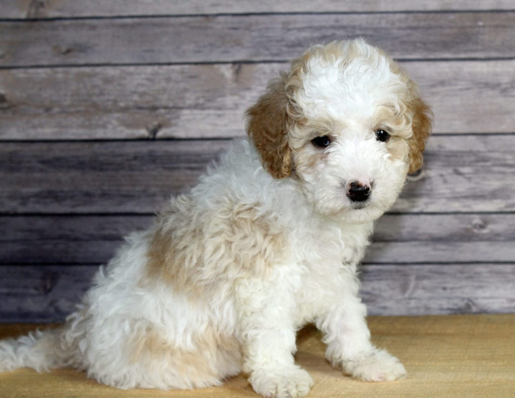 Wesley is an F1B Bernedoodle that should have  and is currently living in Iowa
