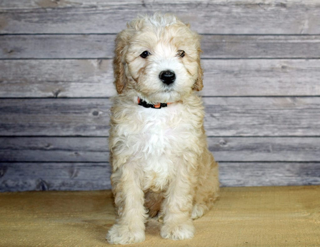 Wilbur is an F1B Bernedoodle that should have  and is currently living in Nebraska