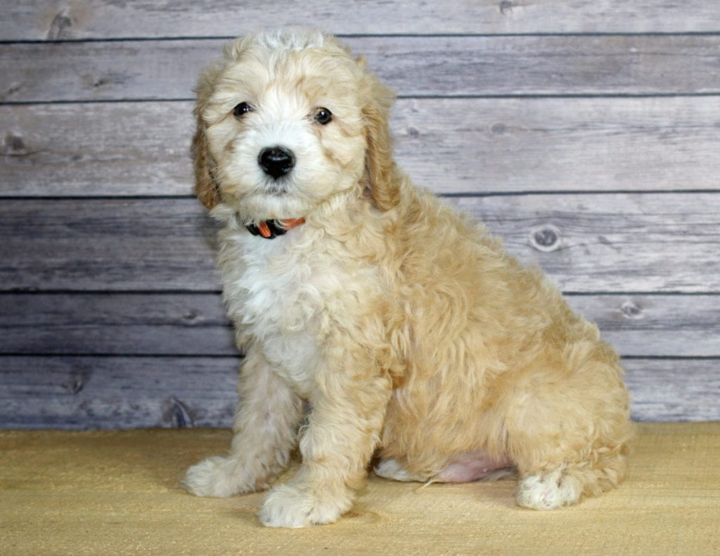 Wilbur came from Finley and Ozzy's litter of F1B Bernedoodles