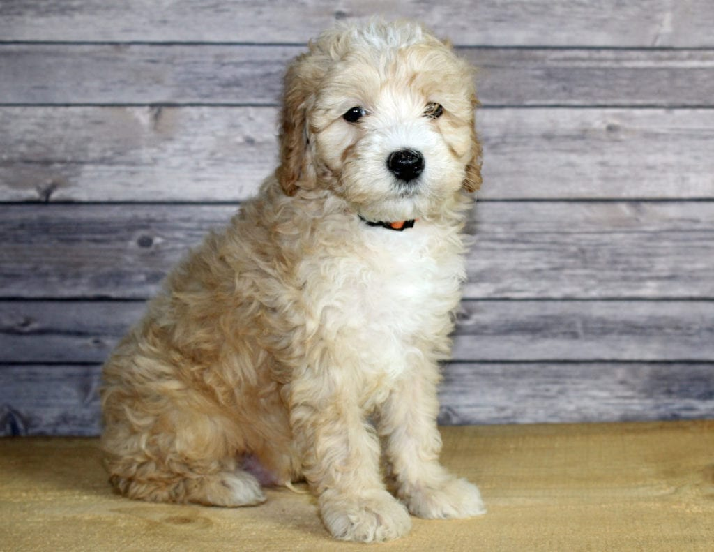 A picture of a Wilbur, one of our Petite Bernedoodles puppies that went to their home in Nebraska