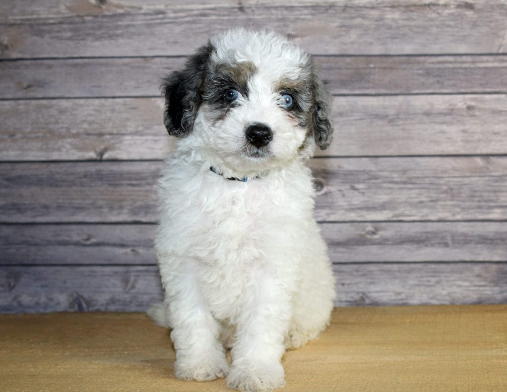 Winston is an F1B Bernedoodle that should have  and is currently living in Nevada