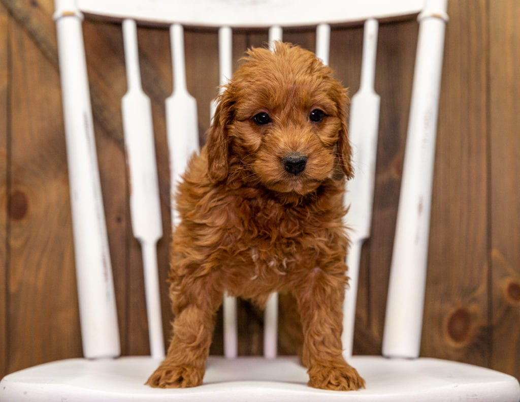 Yanna came from Aspen and Milo's litter of F1 Goldendoodles