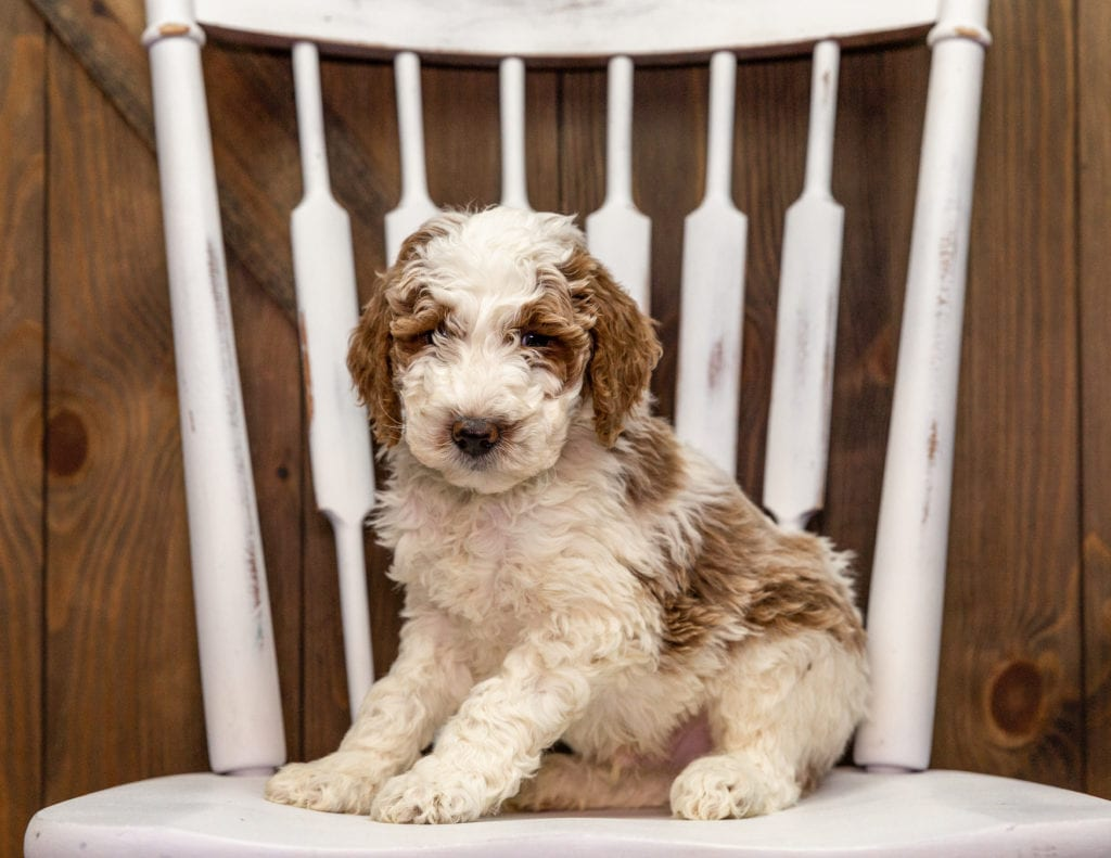 These Goldendoodles were bred by Poodles 2 Doodles, their mother is Leia and their father is Chevy