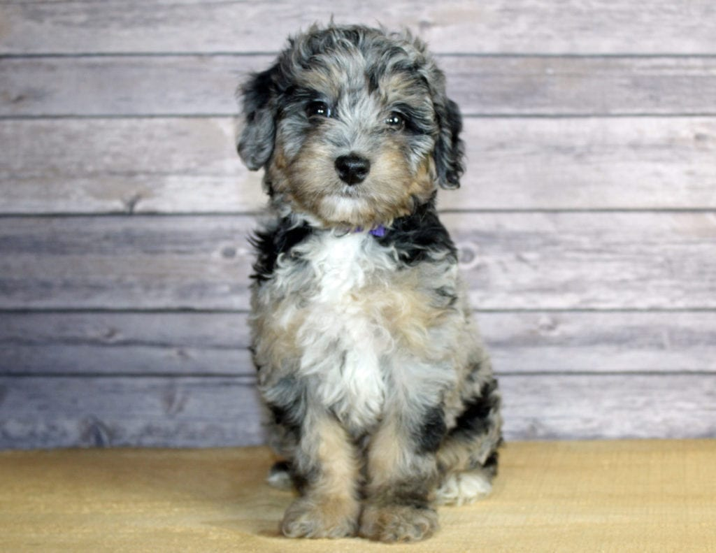 Winnie is an F1B Bernedoodle that should have  and is currently living in Illinois