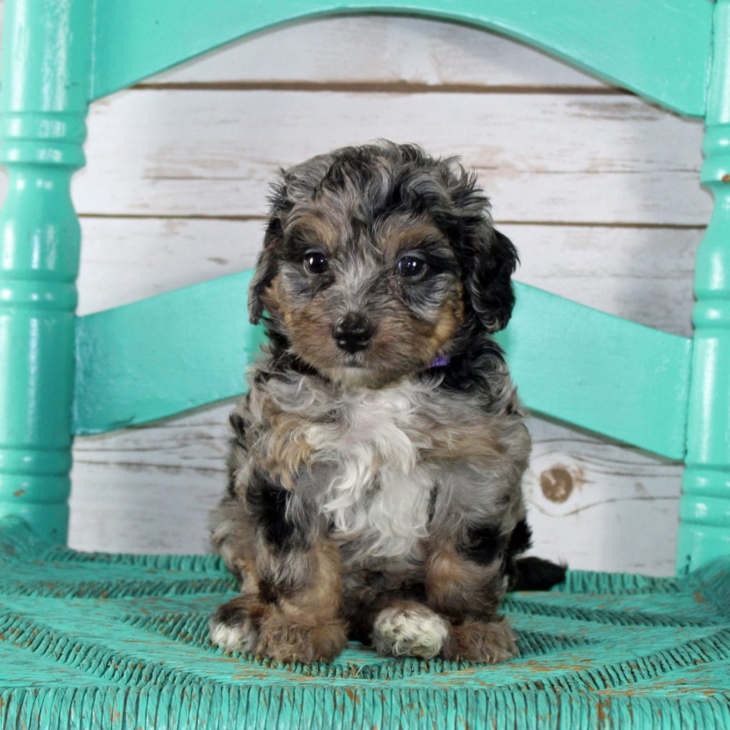 A picture of a Winnie, one of our Petite Bernedoodles puppies that went to their home in Illinois