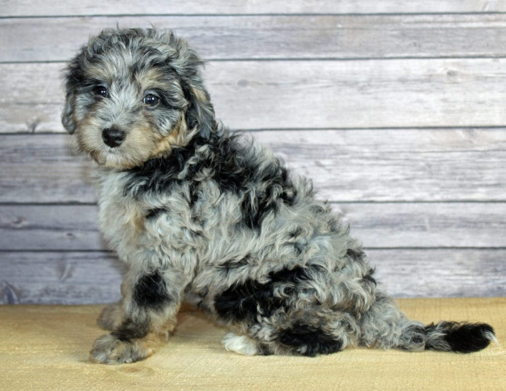 Winnie came from Winnie and Ozzy's litter of F1B Bernedoodles