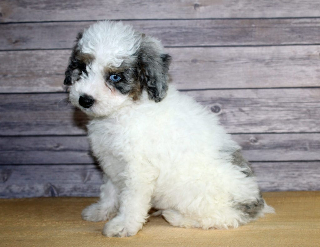 Winston came from Finley and Ozzy's litter of F1B Bernedoodles