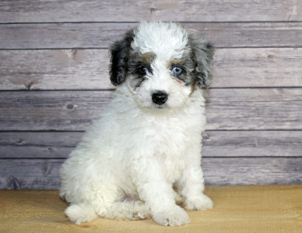 A picture of a Winston, one of our Petite Bernedoodles puppies that went to their home in Nevada