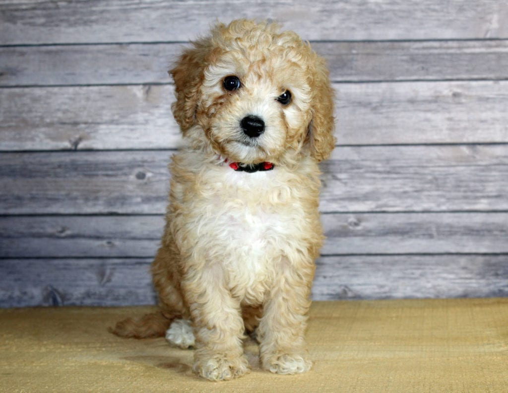 Woody is an F1B Bernedoodle that should have  and is currently living in Iowa