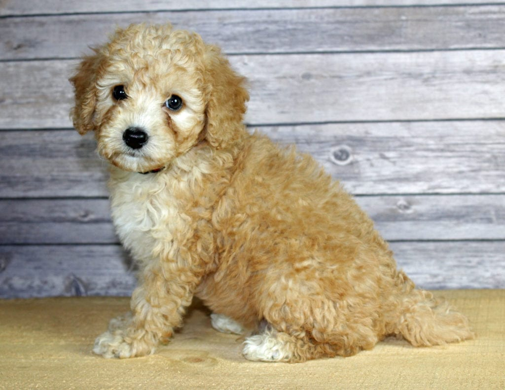 Our cute Petite Bernedoodles available for sale!