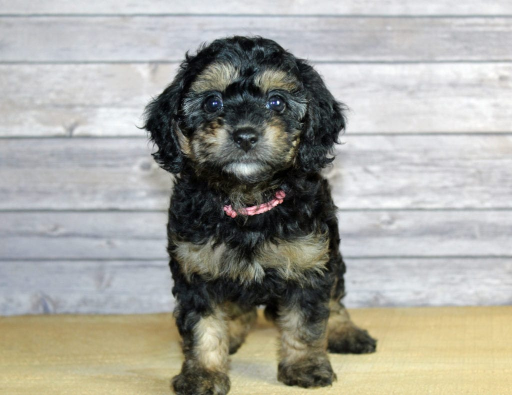 A picture of a Wynonna, one of our Petite Bernedoodles puppies that went to their home in Missouri