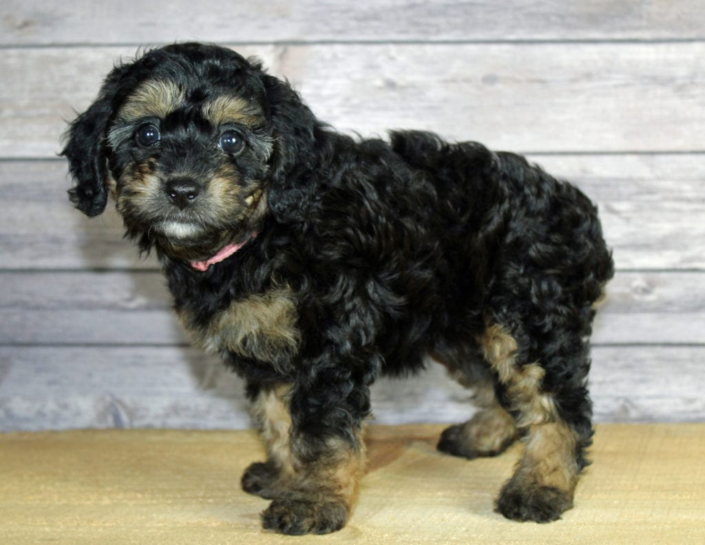 Wynonna came from Finley and Ozzy's litter of F1B Bernedoodles