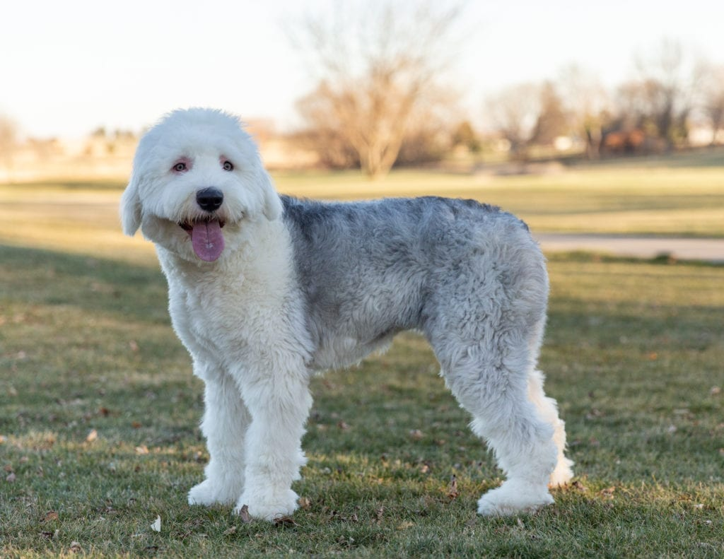 Chloe is an  Old English Sheepdog and a mother here at Poodles 2 Doodles, Sheepadoodle and Bernedoodle breeder from Iowa