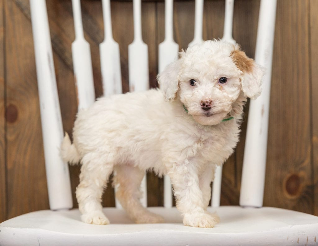 A picture of a Ebi, one of our Mini Goldendoodles puppies that went to their home in California