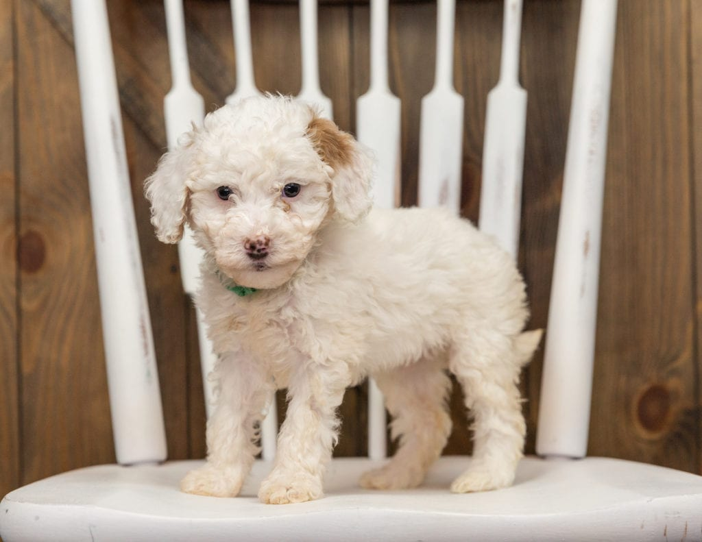 Ebi is an F1BB Goldendoodle that should have  and is currently living in California