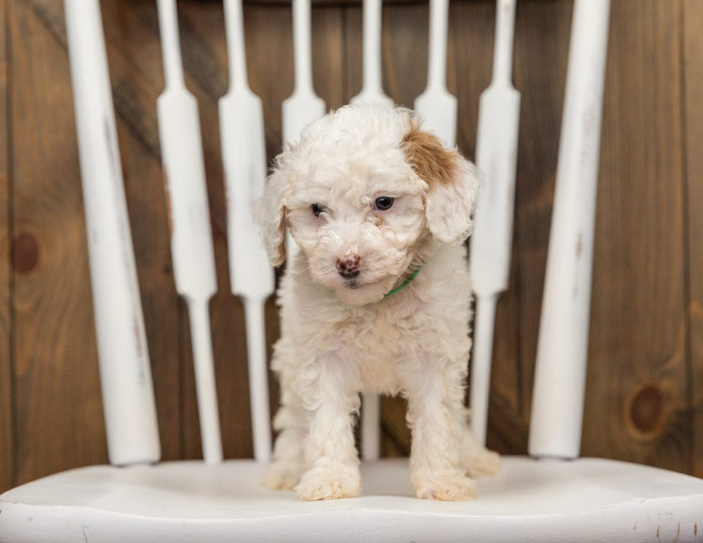 Ebi came from Zara and Milo's litter of F1BB Goldendoodles