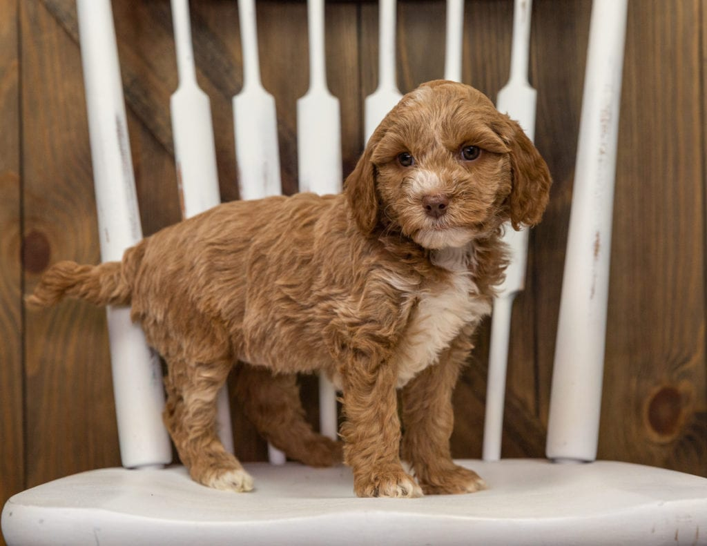A picture of a Ebony, one of our Mini Goldendoodles puppies that went to their home in California