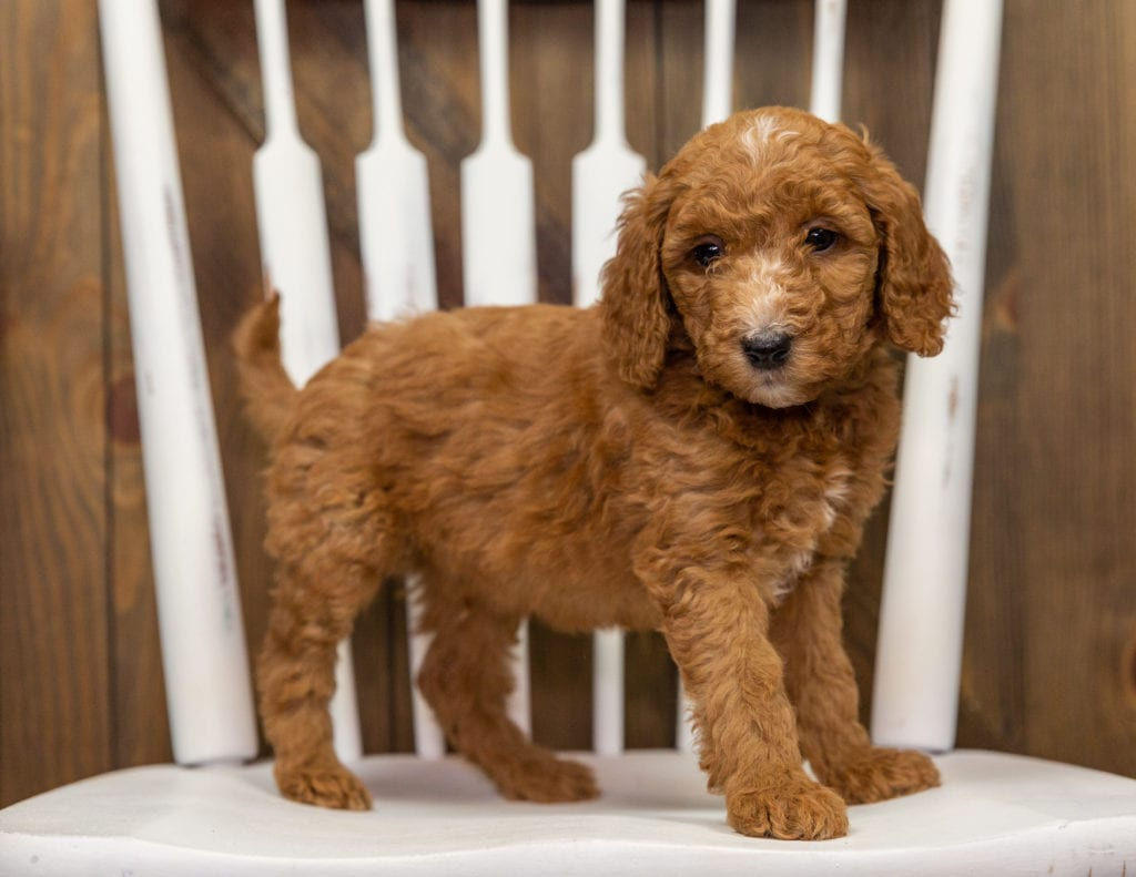 A picture of a Echo, one of our Mini Goldendoodles puppies that went to their home in Colorado
