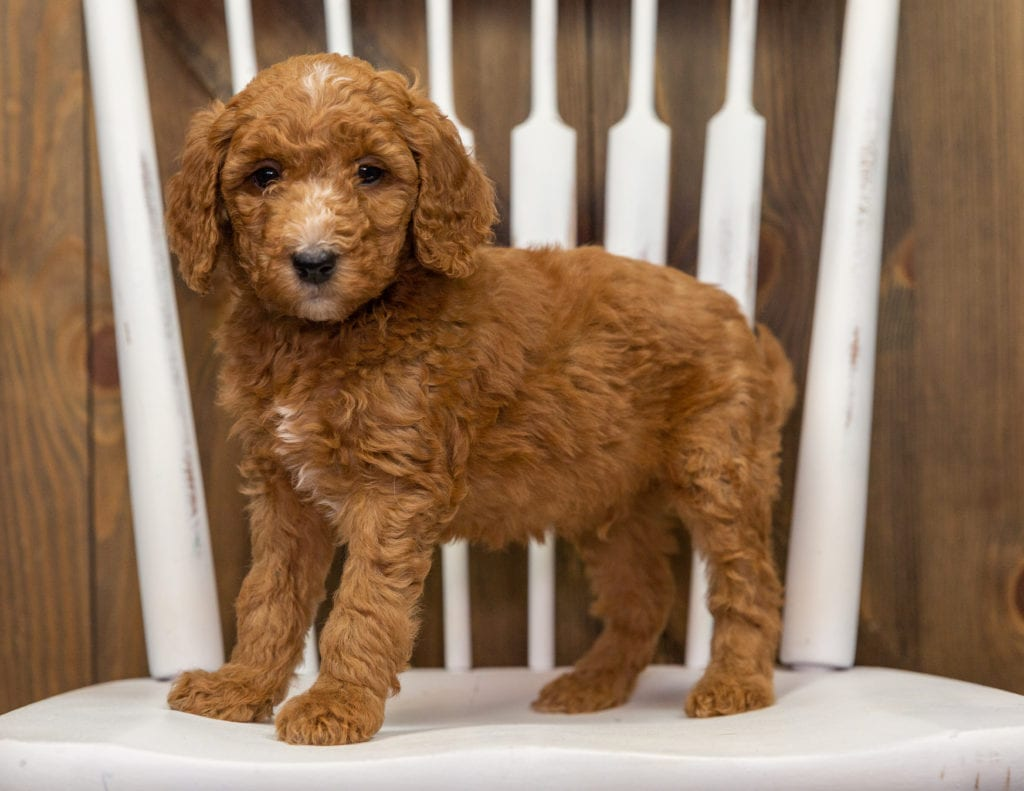 Echo is an F1BB Goldendoodle that should have  and is currently living in Colorado